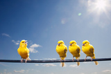 Four Canaries on Wire, One Bird Chirping Photographic Print by PM Images