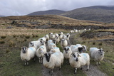 Flock of Sheep following Each Other along Track Photographic Print by Wild Orchid Images