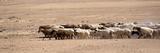 Sheep in China Reproduction photographique par Simon Yu