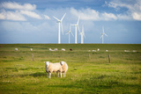 Sheep in Field with Windfarm, Schleswig Holstein, Germany Photographic Print by  sah