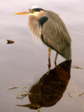 Great Blue Heron and Water Reflection Photographic Print by Judy Bishop - The Travelling Eye