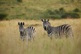 Plains Zebra, Equus Quagga Photographic Print by Juergen Ritterbach