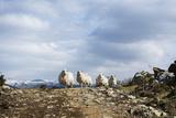 Group of Sheep in Hills, North Wales. Photographic Print by Betsie Van der Meer