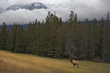 Bull Elk in Meadow with Snow Covered Mountains Photographic Print by Guy Crittenden