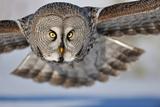 Hunting Great Grey Owl (Strix Nebulosa) Fotoprint van Yves Adams