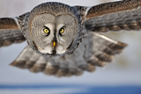 Hunting Great Grey Owl (Strix Nebulosa) Photographic Print by Yves Adams