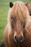 Icelandic Horse, Iceland Photographic Print by Mint Images/ Art Wolfe