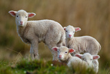 Little Lambs Fotografisk tryk af Ronai Rocha