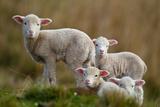 Little Lambs Photographic Print by Ronai Rocha