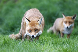 Fox Pair Photographic Print by  mlorenzphotography