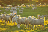Flock of Sheep Photographic Print by Raimund Linke