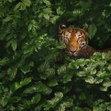 Bengal Tiger Reprodukcja zdjęcia autor by toonman