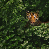 Bengal Tiger Photographic Print by by toonman