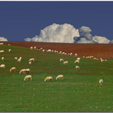 Flock of Sheep Photographic Print by  nespyxel