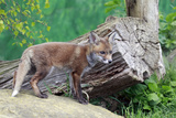 Fox Den Photographic Print by  mlorenzphotography