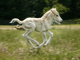 Norwegian Fjord Colt Running Photographic Print by Jeffrey L. Jaquish ZingPix