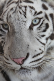 White Tiger Photographic Print by  imagewerks