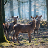 Red Deer between Trees Photographic Print by Ingrid Kremers