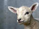 Newborn Lamb Photographic Print by bob van den berg photography