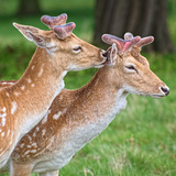 Two Deer Photographic Print by David Kittos
