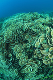 Hard Coral Panorama (Montipora Sp.), Papua New Guinea Photographic Print by Tobias Bernhard