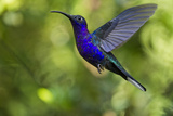Violet Sabrewing Hummingbird, Costa Rica Photographic Print by Paul Souders