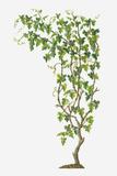 Illustration of Vitis Vinifera (Common Grape Vine) Bearing Bunches of Ripe Green Fruit Photographic Print by Dorling Kindersley