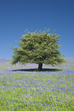 Hawthorn, Bluebells at Holwell Lawn, Dartmoor, UK Photographic Print by David Clapp