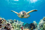 Sea Turtle Maui Photographic Print by M.M. Sweet