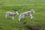 Two Lambs in Green Field Photographic Print by Design Pics / John Short