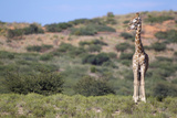 Two Giraffes Looking into the Distance Photographic Print by Heinrich van den Berg