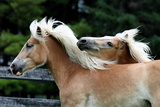 Two Blond Horses Running in Field Photographic Print by Driftless Studio