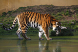 Siberian Tiger Photographic Print by Stephan Rebernik Photography