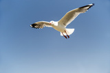 Silver Gull in Flight against Blue Sky Photographic Print by Mike Hill
