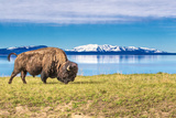 Buffalo Grasing in Yellowstone National Park Photographic Print by Daniel Osterkamp