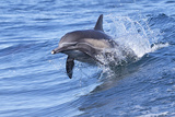 Dolphin Riding Wake Photographic Print by Greg Boreham (TrekLightly)