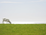 A Sheep Grazing with the Sea on the Horizon Photographic Print by Luxx Images