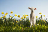 Lamb Walking in Field of Flowers Photographic Print by Peter Mason