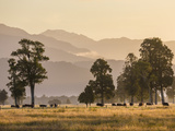 Cattle Grazing near Lake Matheson, South Island. Photographic Print by David Madison