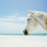 White Horse on Beach, Close-Up Photographic Print by Nina Buesing