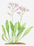 Illustration of Limonium Vulgare (Common Sea-Lavender), Leaves and Pink Flowers Photographic Print by Dorling Kindersley