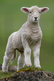 Lamb Photographic Print by Grant Reaburn