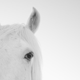 Close up of White Horse Photographic Print by John Harper