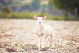 Beautiful Little Lamb in English Countryside Photographic Print by Rosanna Bell