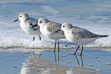 Three Sanderling Sampipers in Line Photographic Print by Maureen P Sullivan
