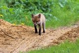Fox Cubs Photographic Print by Barry John Miller