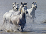 Camargue Horses, France Photographic Print by Keren Su