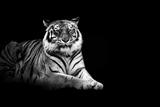 Tiger Reprodukcja zdjęcia autor Malcolm MacGregor