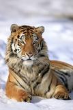 Siberian Tiger (Panthera Tigris Altaica) Reprodukcja zdjęcia autor Tier Und Naturfotografie J und C Sohns