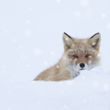 Fox in Snow Field Photographic Print by  ICHIRO